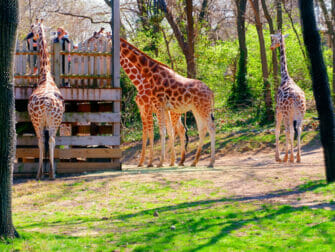 Bronx Zoo New Yorkissa - Kirahveja eläintarhassa