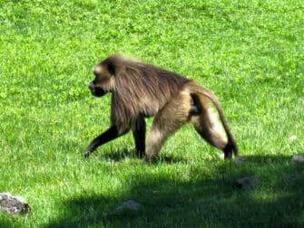 Bronx Zoo New Yorkissa - Apina eläintarhassa