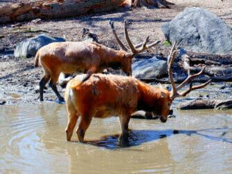 Bronx Zoo New Yorkissa - Eläimiä juomassa