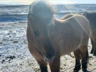 Välilasku Islantiin New Yorkin matkalla Islandpferd