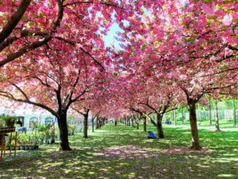 Brooklyn New Yorkissa - Brooklyn Botanic Garden