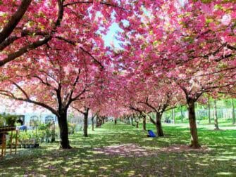 Kasvitieteelliset puutarhat New Yorkissa - Kirsikankukkia